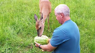 Man shares watermelon in the forest with a friendly wild deer