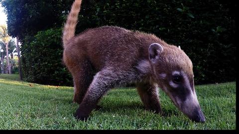 Playful baby coatis thoroughly investigate GoPro