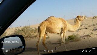 Friendly Camel in desert