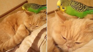 Chill cat totally ignores parrot chewing on his ear