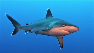 Fascinating up-close footage of silvertip reef sharks