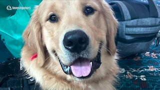Investigation continues for beloved service dog Benny in Stark County
