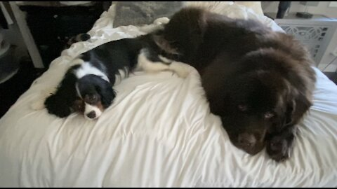 Newfie and Cavalier nearly take up the entire bed