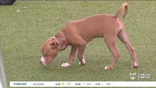 Humane Society of Tampa Bay offers reward for information on puppy found with chain embedded in neck