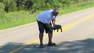 How to properly rescue a large snapping turtle crossing the road