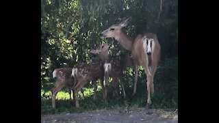 Baby deer triplets enjoy breakfast with their mama