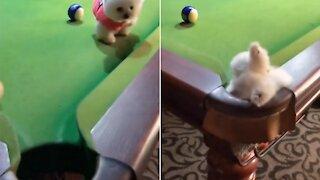 When a puppy plays billiards