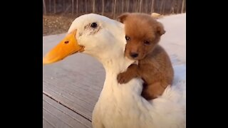 Adorable Puppy Loves Its Duck Buddy