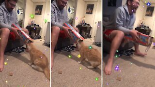 Cat loves cardboard box so much that she jumps right in it