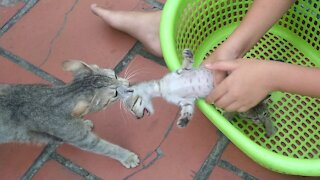 Mama Cat Takes Back Crying Kitten From Toddler