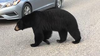 Black Bear Casually Strolls Alongside Cars Causing A Traffic Jam