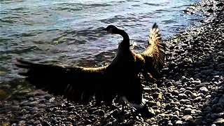 Rescued Canada goose shows complete joy at being free