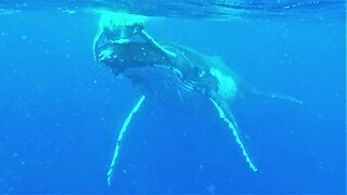 Mother humpback whale proudly visits swimmers with her new baby