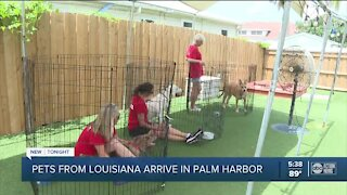 Dogs rescued from Hurricane Ida zone find homes in Pinellas County