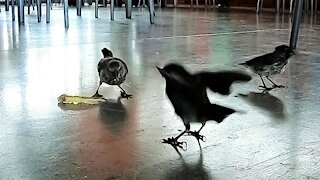 Airport birds in Galapagos Islands feast on a french fry