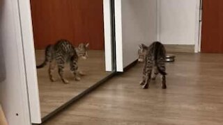 Kitten in dramatic battle with its own reflection