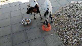 Ces chèvres s'offrent le luxe d'un petit déjeuner