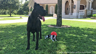 Great Dane Stands Guard Over Tiny Puppy