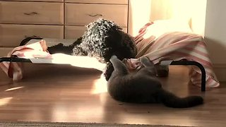 Playful Cat Refuses To Let Dog Sleep In