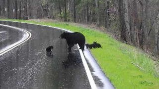 Mama bear helps cubs cross the road