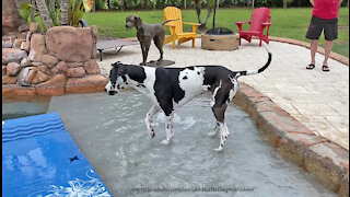 Great Dane Enjoys His First Dip And Sip In The Pool