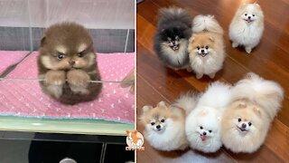 😍 Mini Pomeranian - Funny and Cute Pomeranian Videos 😍
