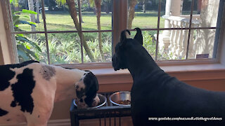 Happy Great Danes Enjoy Breakfast With A Squirrel View