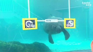 Animals making their Super Bowl predictions