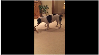 High-energy pup jumps & dances with favorite toy
