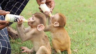 Adorable Monkey Babies Orphaned After Their Mothers Died Are Inseparable