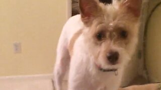 Puppy's priceless reaction after seeing owner wear facial mask