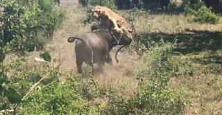Bøffel sender en løve flyvende gennem luften
