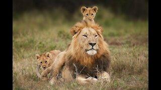 ADORABLE! SIX LION CUBS