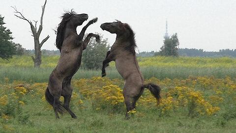 Majestic battle for dominance between wild Konik horses