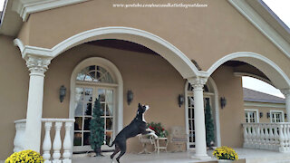 High-energy Great Dane gets teased by brave squirrel