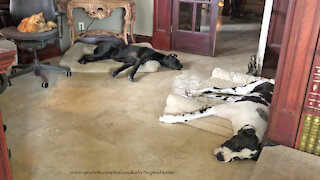 Cat And Sleepy Great Danes Enjoy Nap Time Together