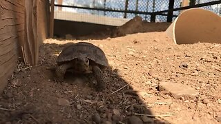Tortoises up for adoption in Arizona