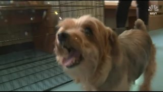 Virginia family reunited with beloved Yorkie TEN YEARS after she disappeared