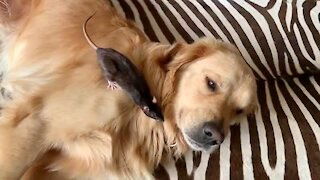Curious pet rat closely inspects gentle Golden Retriever