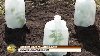Melinda's Garden Moment - Maximize your tomato harvest