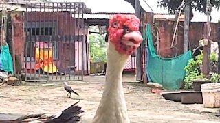 Monster goose asking for food
