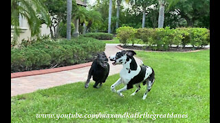 Great Danes argue over newspaper delivery responsibilities