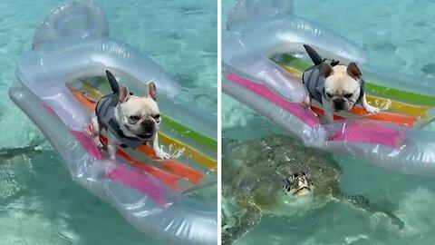 Sea turtle swims right underneath dog on floatie