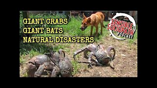 Ep 065: Giant Coconut Crab Attack, Human-Sized Bat, Disastrous Nature