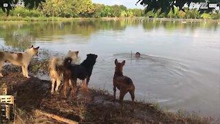 Quattro cani spaventati quando il padrone sparisce nel lago