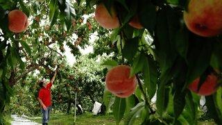 FDA Expands Recall Of Peaches Over Salmonella Outbreak