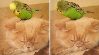 Parrot sits right on top of sleeping cat's head