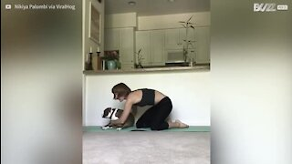 Ce chien pit-bull est l'ennemi du yoga