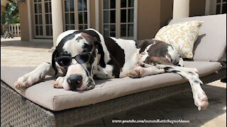 Laid Back Great Dane Looks So Cool In Shades