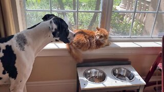 Great Dane too scared to approach food bowl with lingering cat nearby